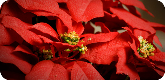 Poinsettias for Christmas Season